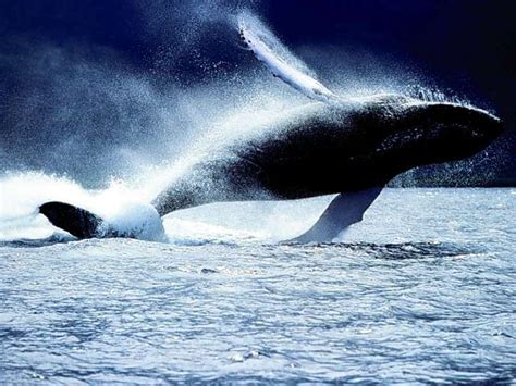 My Free Wallpapers - Nature Wallpaper : Whale Jumping