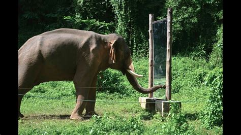 Mirror Self-Recognition in Asian Elephants! - YouTube